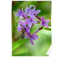 Hoverfly on Spring Lilac Poster