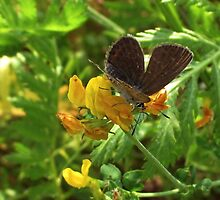 Brown Argus by ienemien