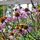 Echinacea flowers by Vicki Field