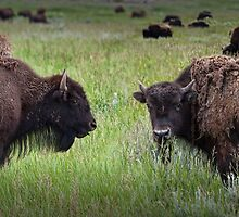 Herd of American Buffalo or Bison in Yellowstone by Randall Nyhof