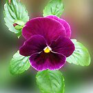 Do you like my velvet dress? Pretty Purple Pansy by BlueMoonRose