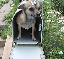 Chihuahua In The Mail by Skree