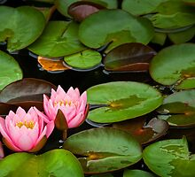 Lily Pads with Blossoms No 201 by Randall Nyhof