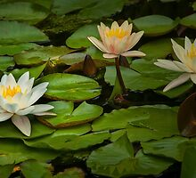Lily Pads and Blossoms No 186 by Randall Nyhof