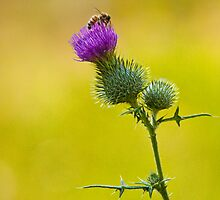 Bull Thistle with Bumble Bee No. 0192 by Randall Nyhof