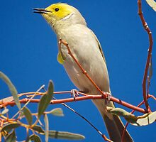 White Plumed Honeyeater  by D-GaP