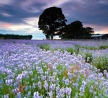 Lavender Blues by Jeanie