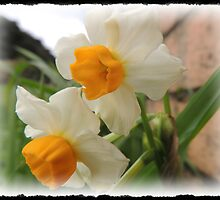 More Daffodils   by Jan Legg