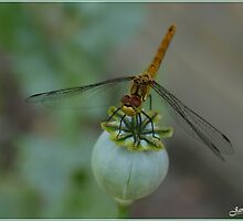 Dragon Fly by Janone