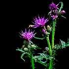 thistle by clayton  jordan