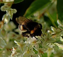 Bumble Bee by Avril Harris