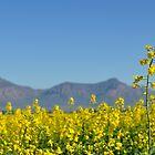 Canola crop by Karen01