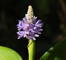 Pickerel Weed - lilac pond plant by Rivendell7