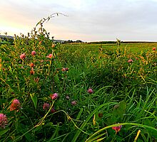 Golden Hour in a Field of Red Clover by TrendleEllwood