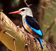 Grey-headed Kingfisher  - Lake Manyara  by john  Lenagan