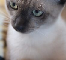 Mia the tonkinese by emsta