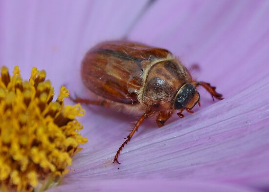 Cockchafer/June Bug on Cosmos by AnnDixon