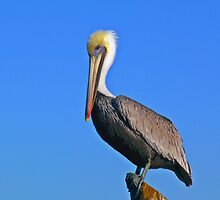 Pelican and blue sky by Robert Brown