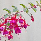 Fuchsia by lynn carter