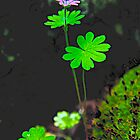Dove's Foot Geranium by John Butler