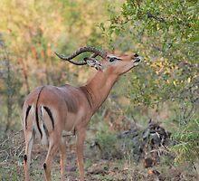 Impala Alert by Vickie Burt