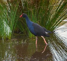 Purple Swamp Hen by Steve Randall