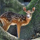 Such A Deer by Kathy Baccari