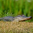 Young Alligator Sunbathing by Kathy Baccari