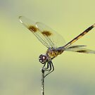 Crouching Dragonfly by Kathy Baccari