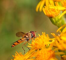 Hoverfly by Tom Curtis