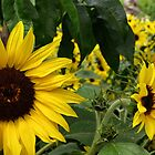 Eden sunflowers by Paulmayfield