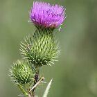Thistle Flower by Sheryl Hopkins