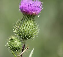 Thistle Flower by Sheryl Hopkins