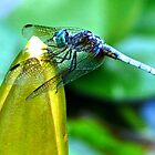 Dragonfly at Rest by jbarnesphotos