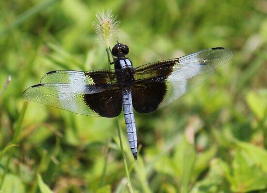 Dragonfly  by Sheryl Hopkins