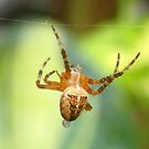 Garden Spider by mikebov