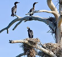 Cormorant Nesting Tree by George I. Davidson