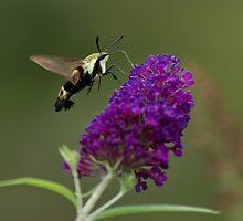 Hummingbird Moth II by photodug