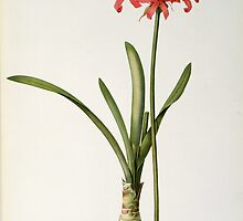 Amaryllis Curvifolia by Bridgeman Art Library