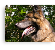 Close up of German Shepherd Canvas Print