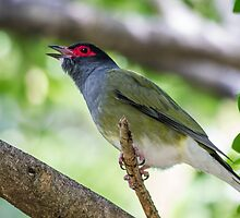 Australasian Green Figbird (Sphecotheres Vieilloti) by NickVerburgt