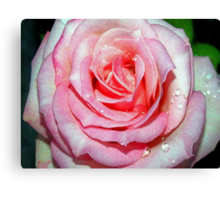 Drops on a pink beauty Canvas Print