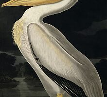 American White Pelican by John James Audbon by Bridgeman Art Library