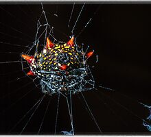 Spiny Orb Weaver by Edvin  Milkunic