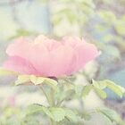 Little Pink Rose by afeimages