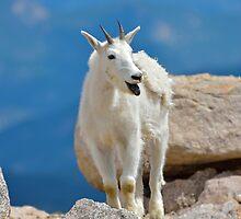 Mountain Goat Tongue by Luann wilslef