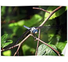 Blue Dasher Dragonfly Poster