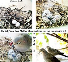 Dove lays eggs by Elenne Boothe