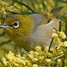 Silvereye on Wattle Up Close by TheGreatContini