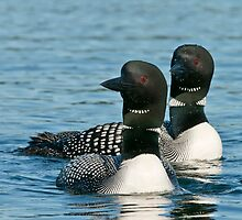 Common Loons by Michael Cummings